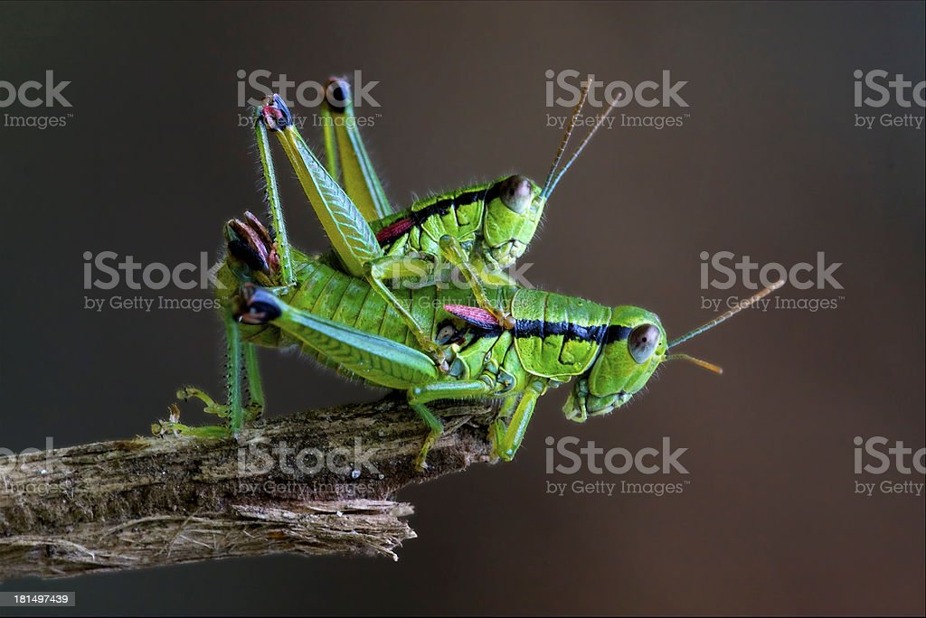 two grasshopper Orthopterous having sex on royalty-free stock photo