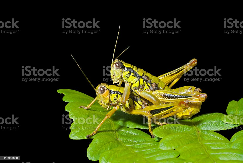Two grasshoppers on leaf royalty-free stock photo