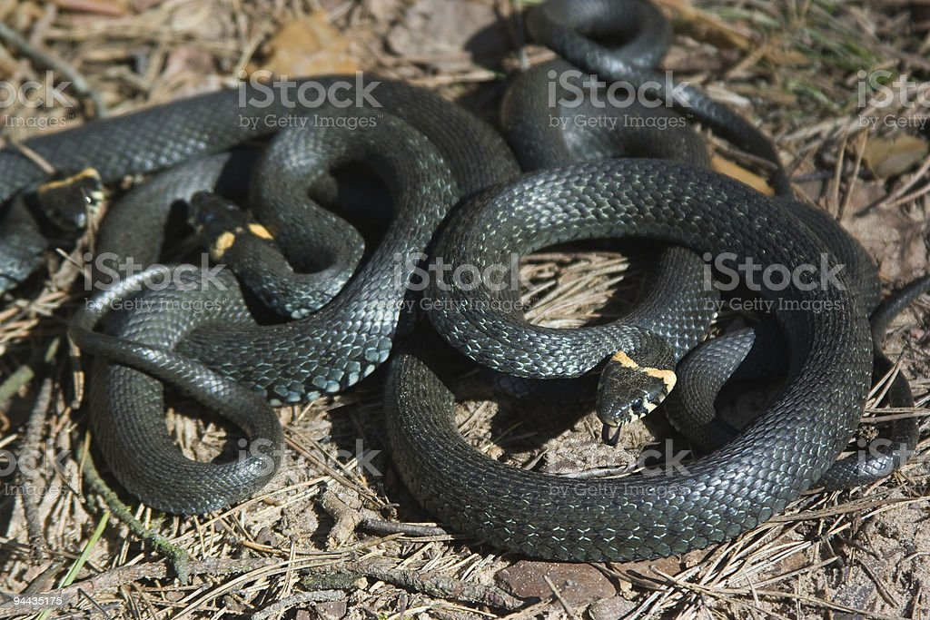 Two grass-snakes stock photo