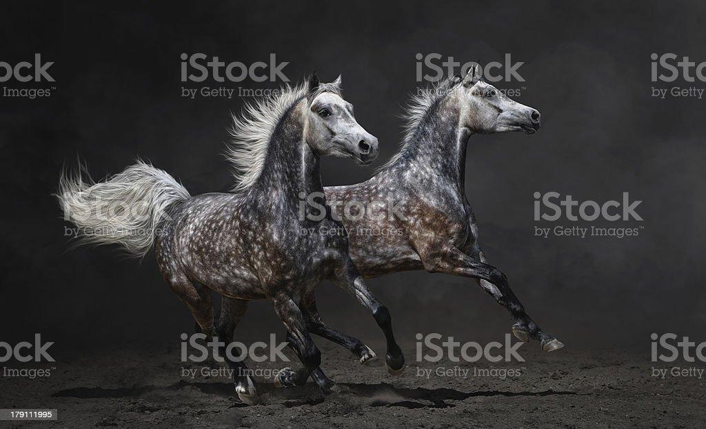 Two gray arabian horses gallop stock photo