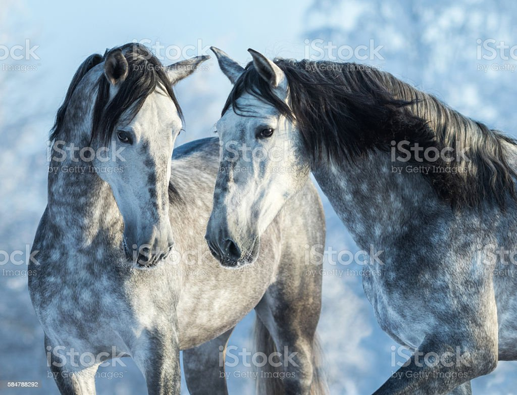 Two gray horses in winter forest on blue sky back stock photo