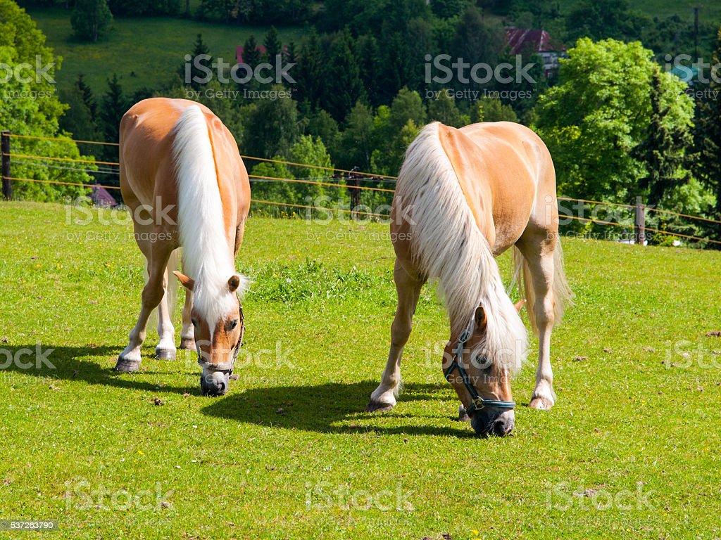 Two grazing palomino horses stock photo