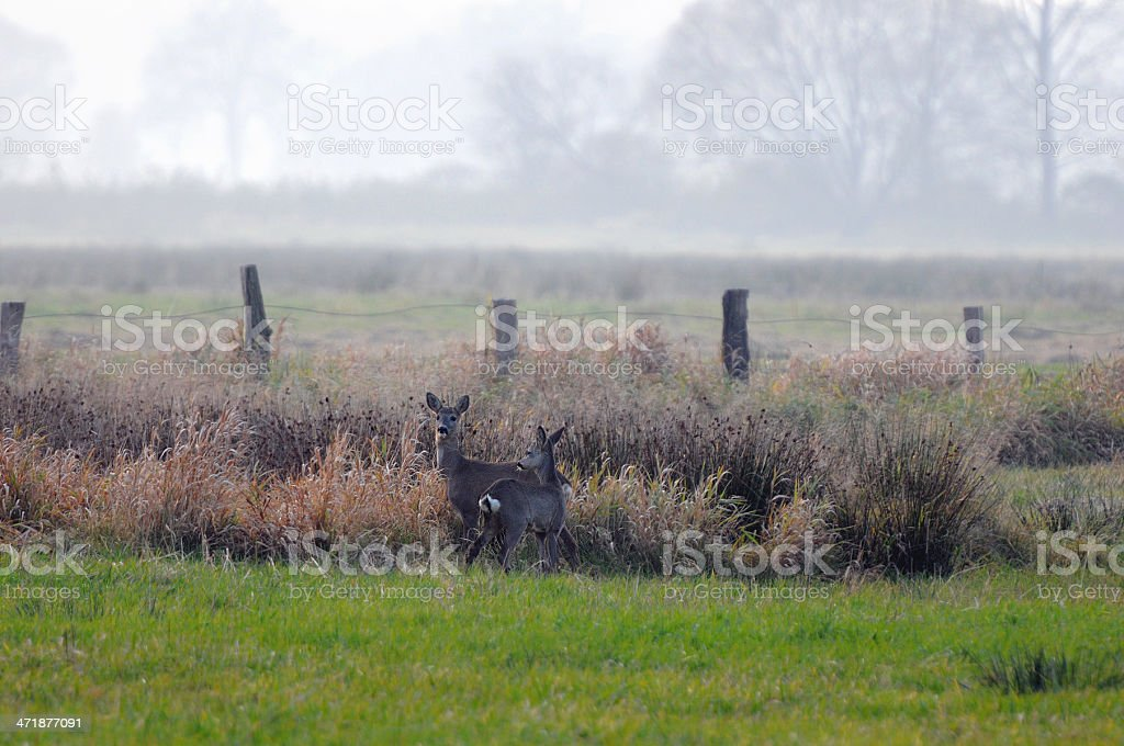two grazing roe deer during autumn on field (Germany) royalty-free stock photo
