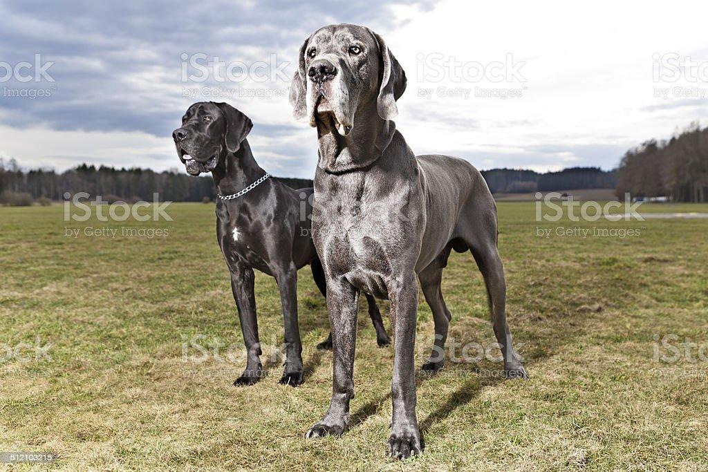 Two Great Danes - Zwei Deutsche Doggen stock photo
