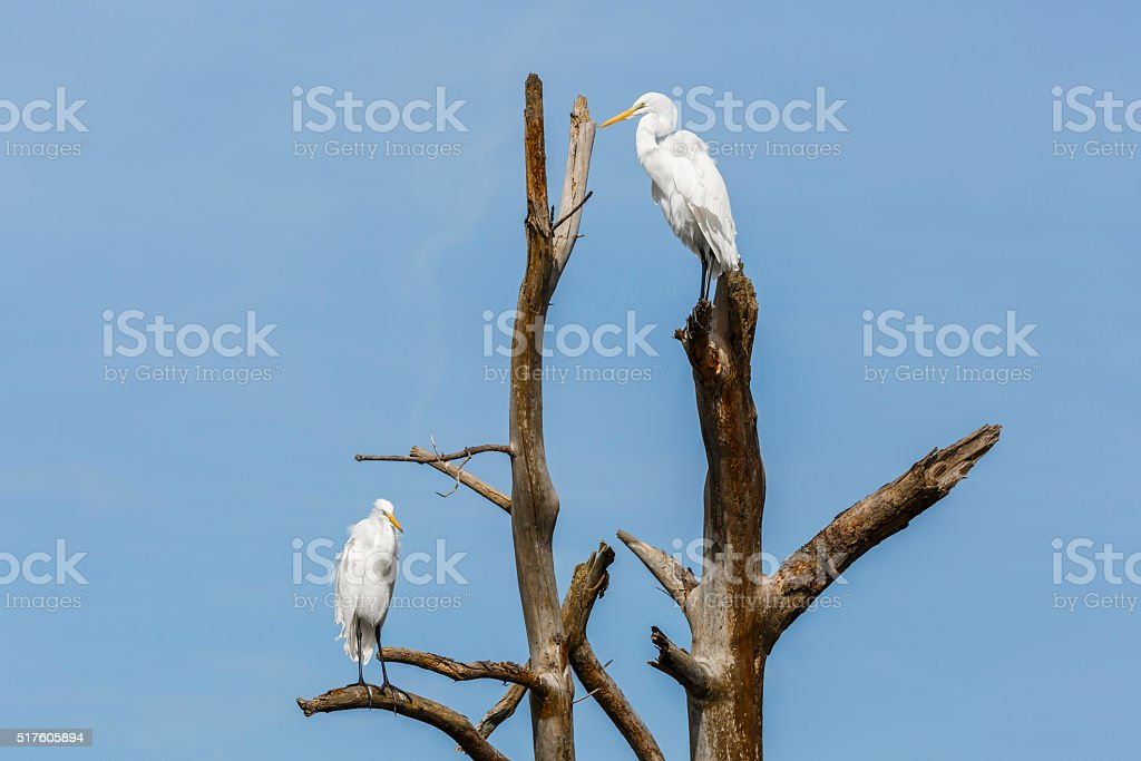 Two Great Egrets (Ardea alba) Hunkered Down On Dead Tree stock photo