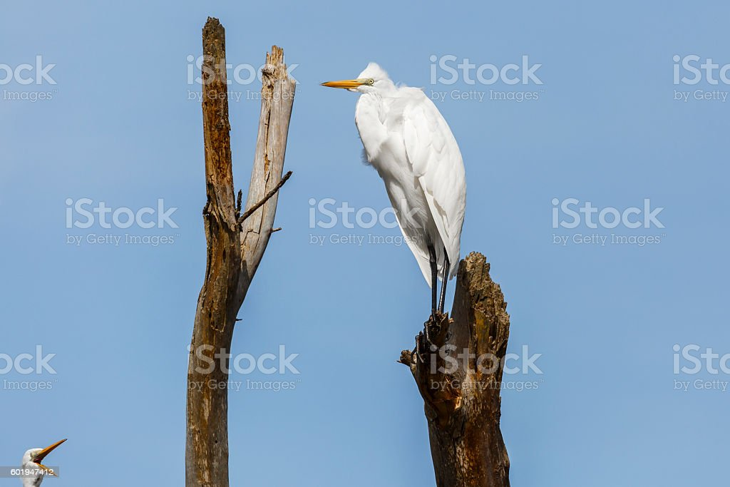 Two Great Egrets (Ardea alba) on a Dead Tree stock photo