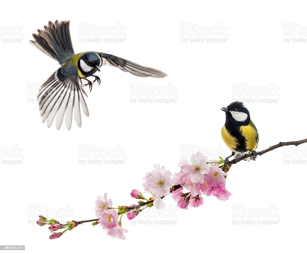 two great tit flying and perched on a flowering branch stock photo