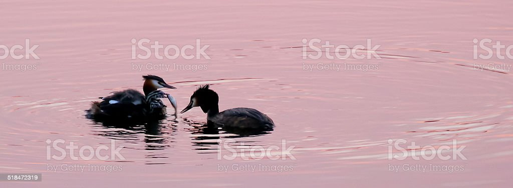 Two grebes feeding fish to their chick royalty-free stock photo