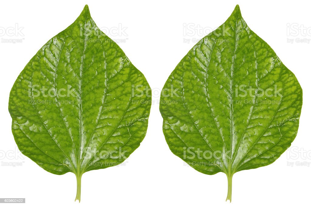 two green betel leaves isolated on white stock photo