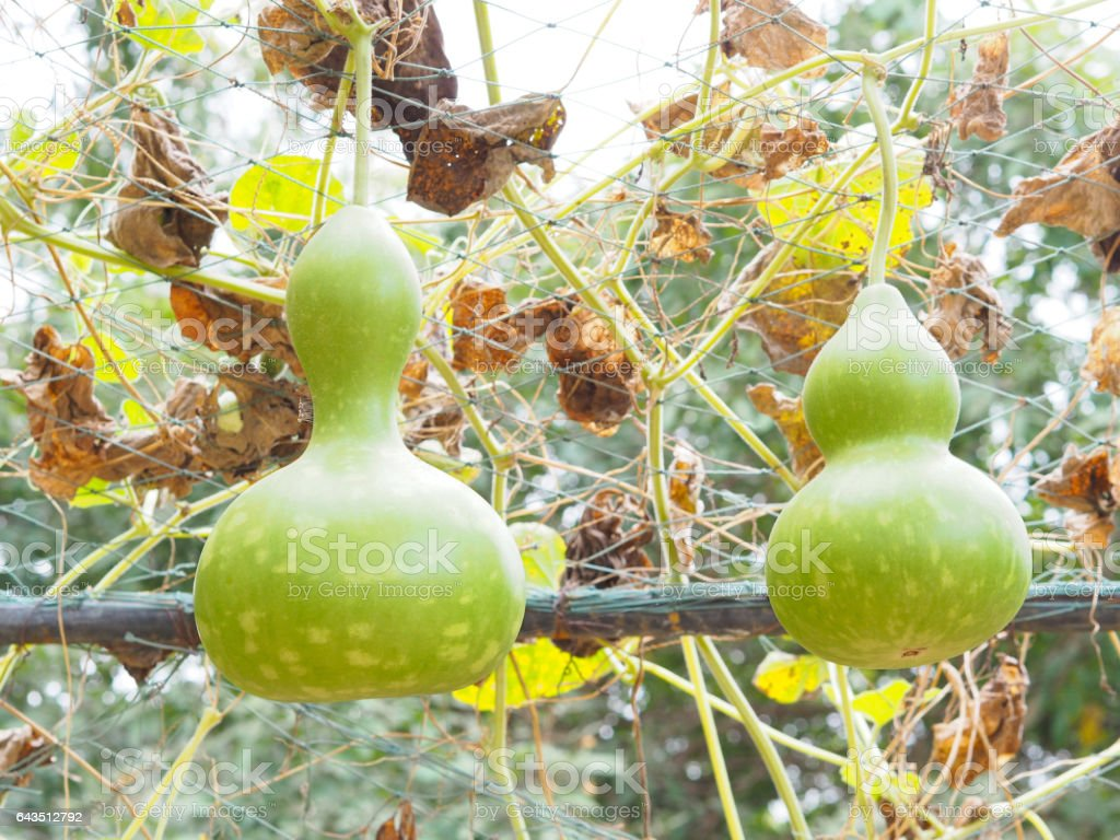 Two green calabashs on tree stock photo