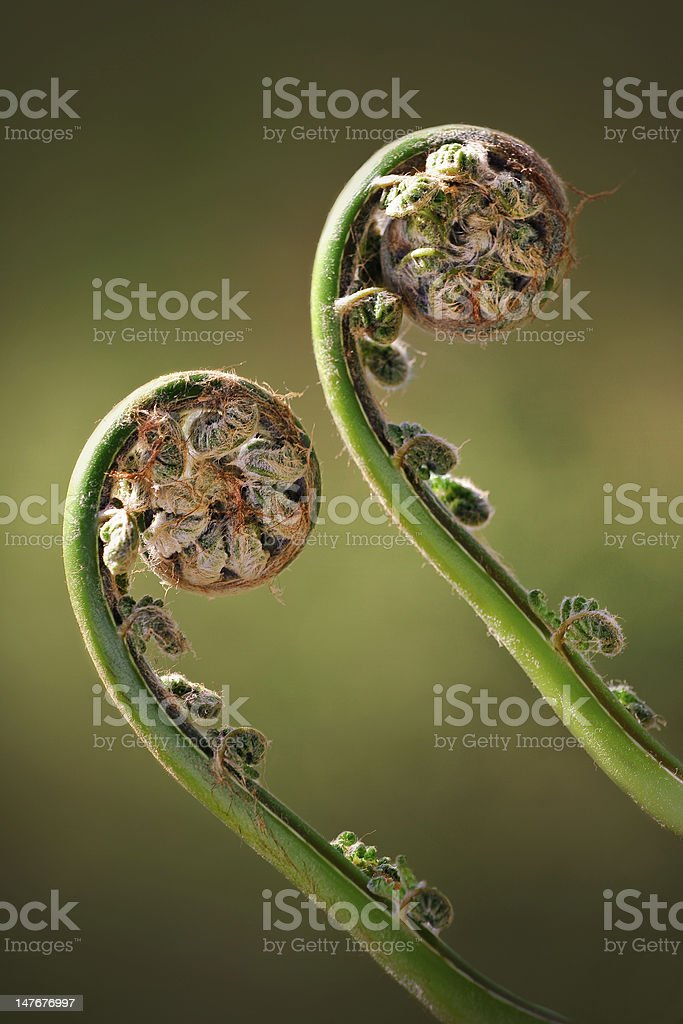 Two Green Fiddleheads On Woodland Fern in Spring stock photo