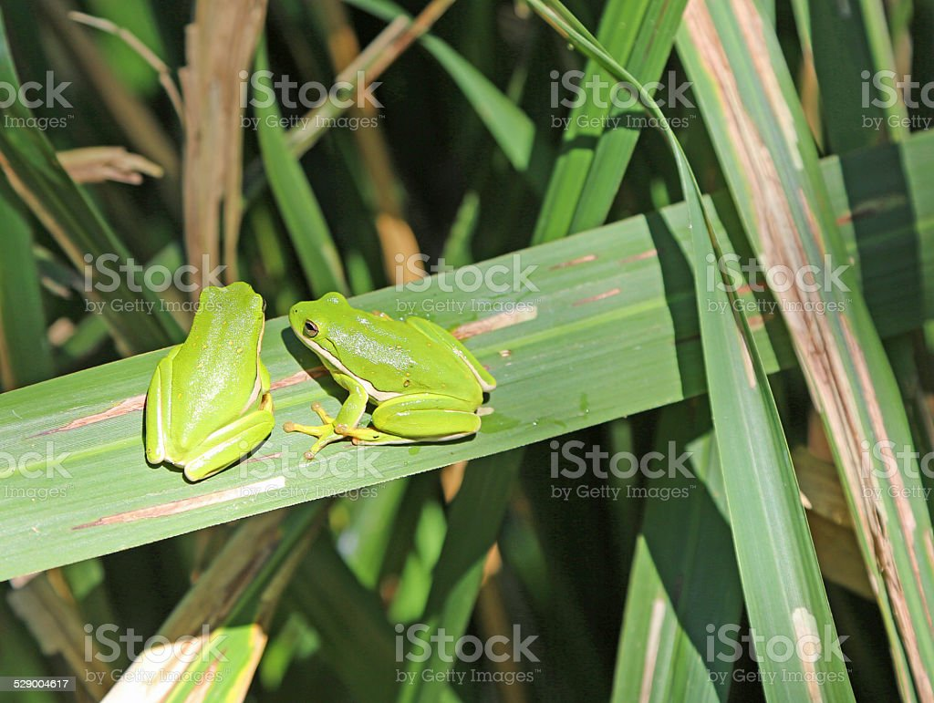 Two green frogs stock photo