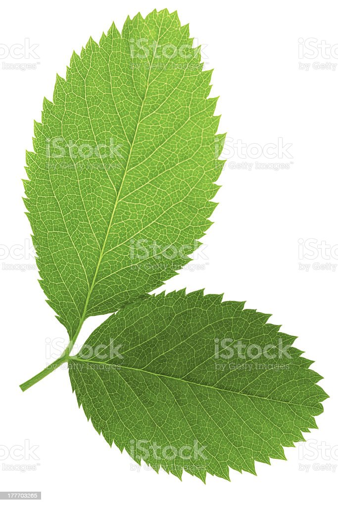 Two  green leaf isolated on white background . royalty-free stock photo