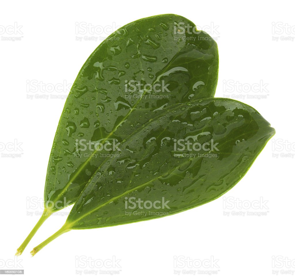 two green leaves royalty-free stock photo
