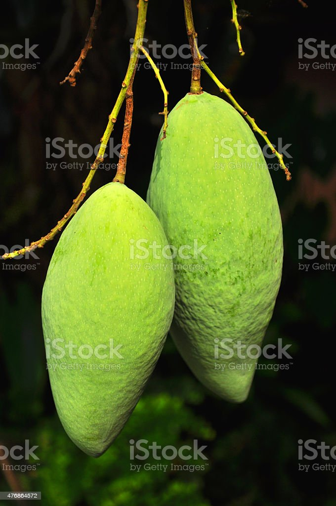 Two Green Mango hanging on the tree stock photo