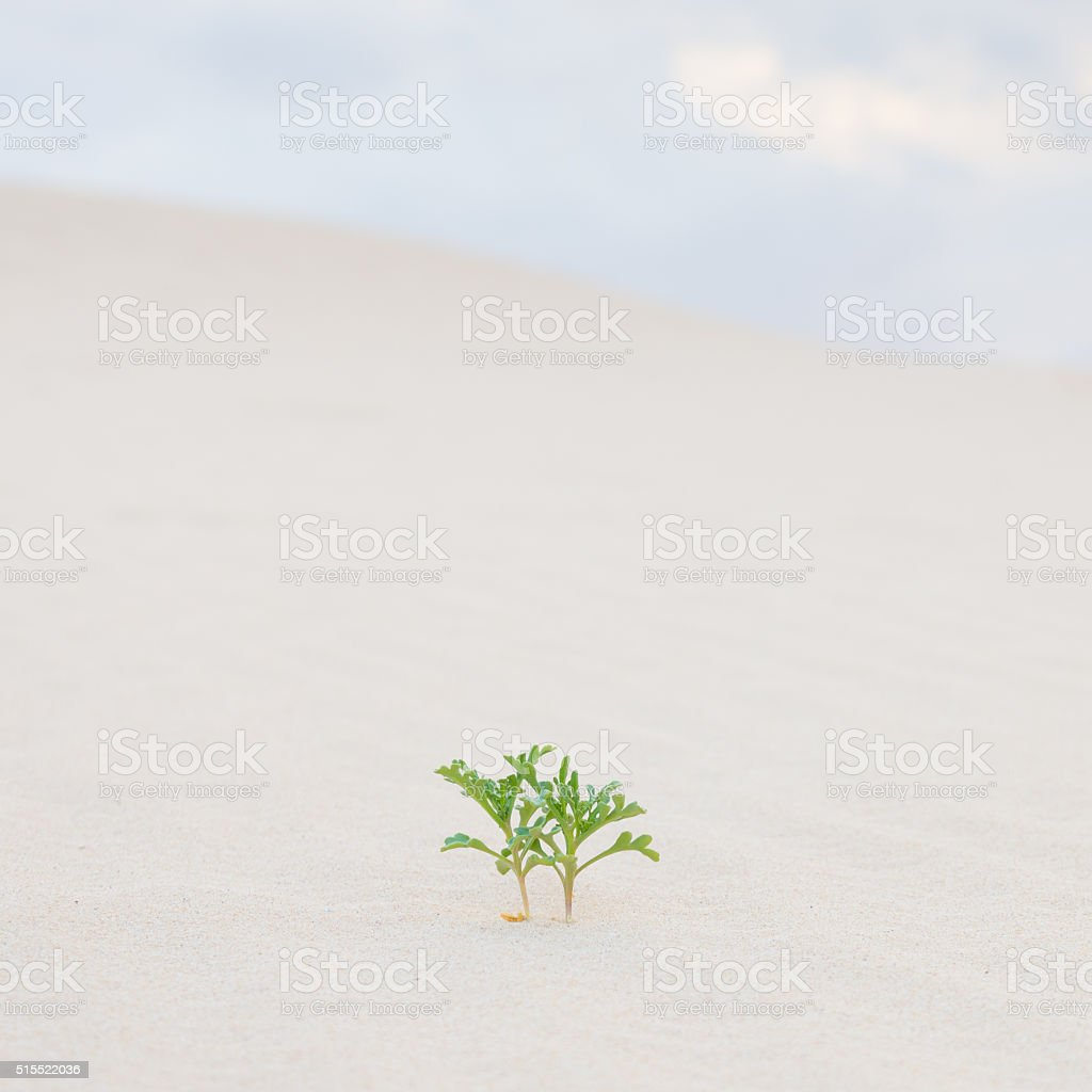 Two green plant sprouts in desert sand. stock photo