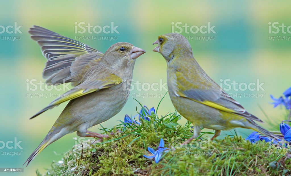 Two greenfinch´s stock photo