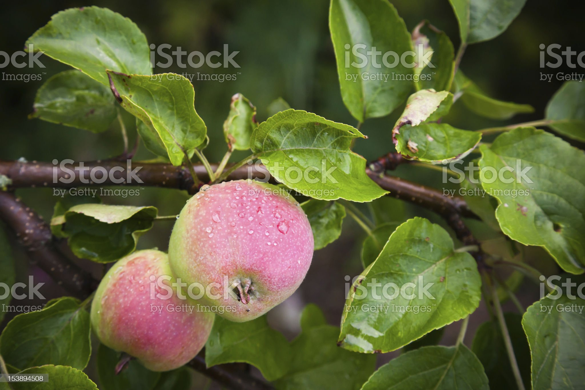 Two green-red apples on the apple tree royalty-free stock photo