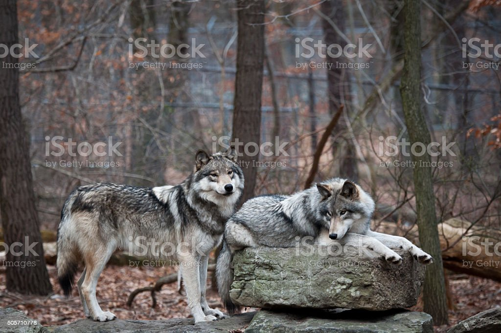 Two Grey Wolves stock photo