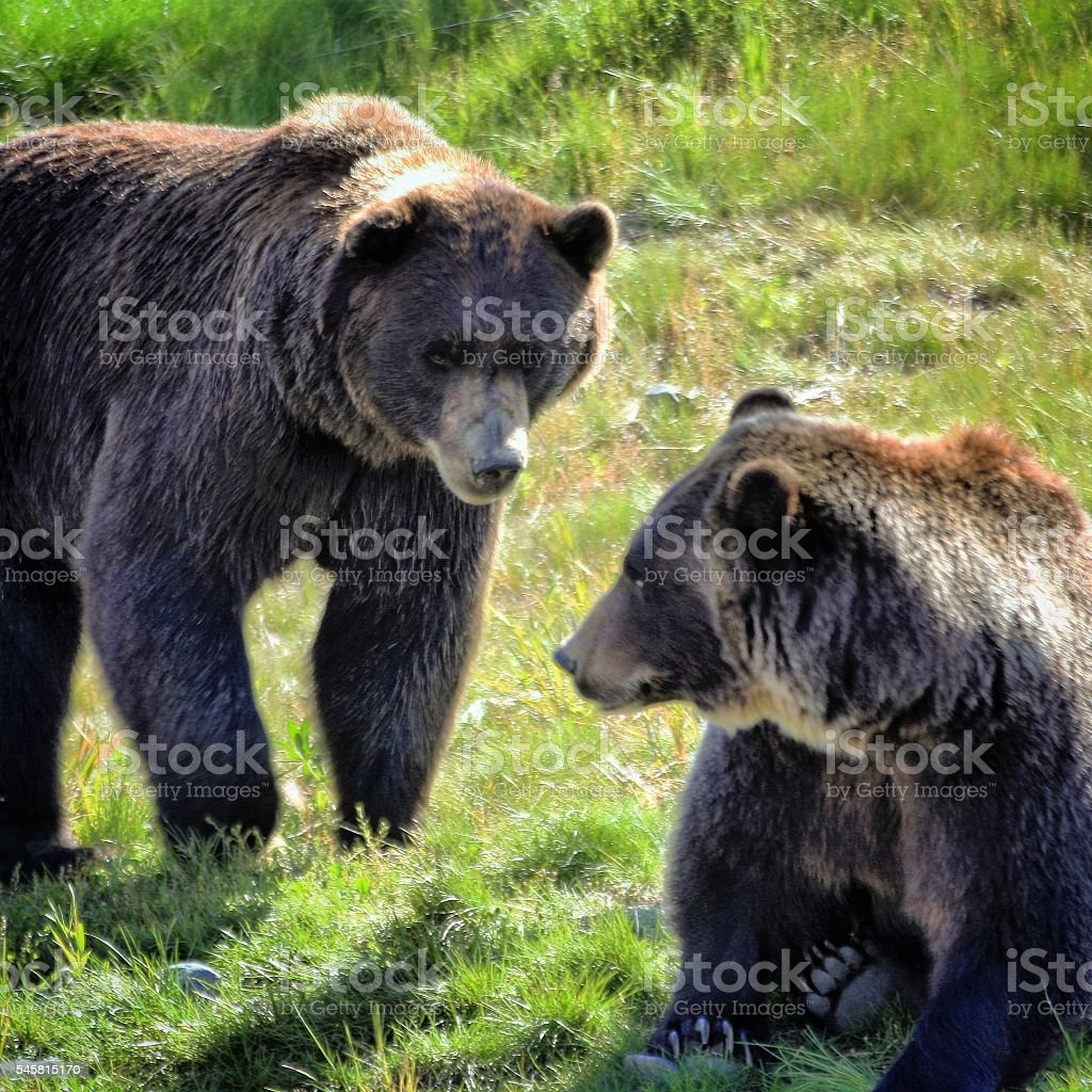 Two Grizzlies stock photo
