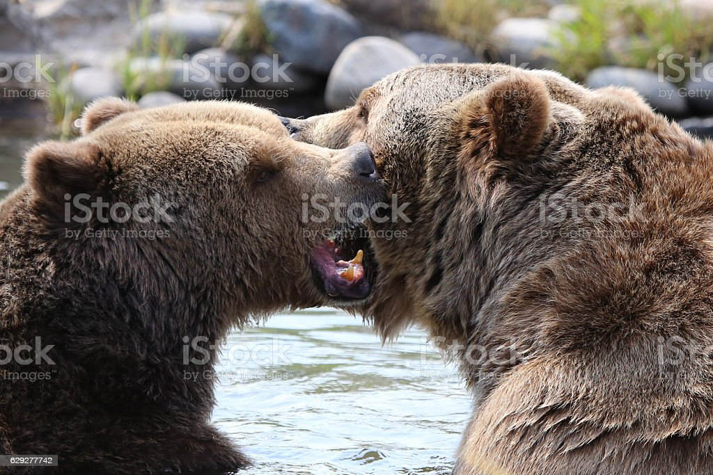Two grizzly bears fight and attack in water stock photo