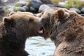 Two grizzly bears fight and attack in water