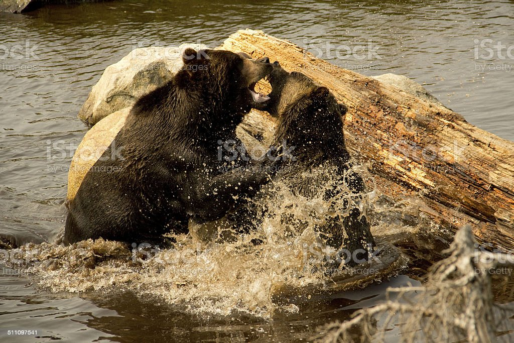 Two grizzly bears fighting in water stock photo