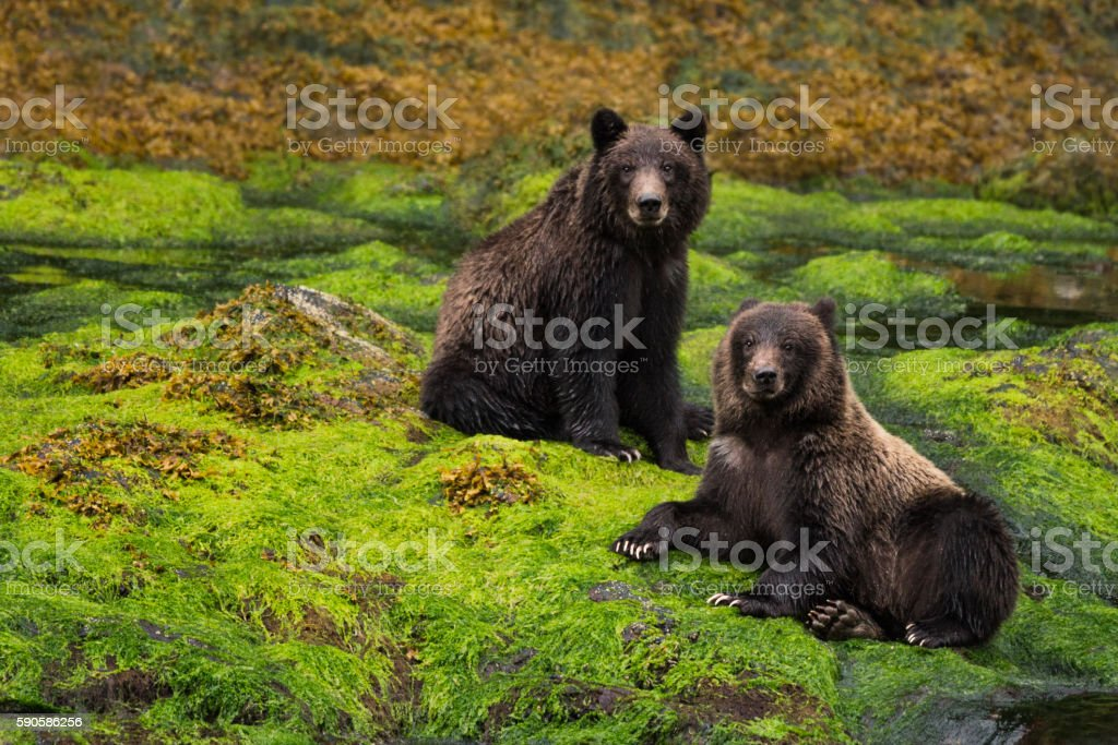 Two grizzly cubs sit in a green rainforest stock photo