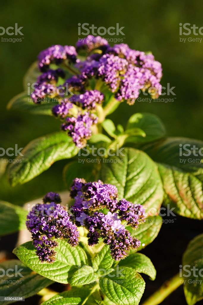 Two groups of purple heliotrope blooms stock photo