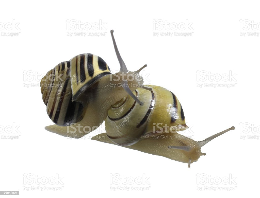 two Grove snails stock photo
