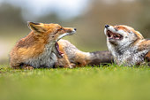 Two Growling European red foxes