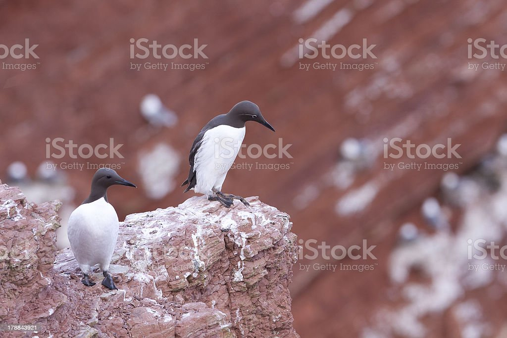 Two guillemots on a cliff stock photo