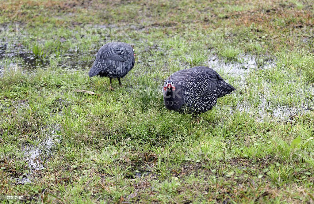 Two Guinea Fowl stock photo