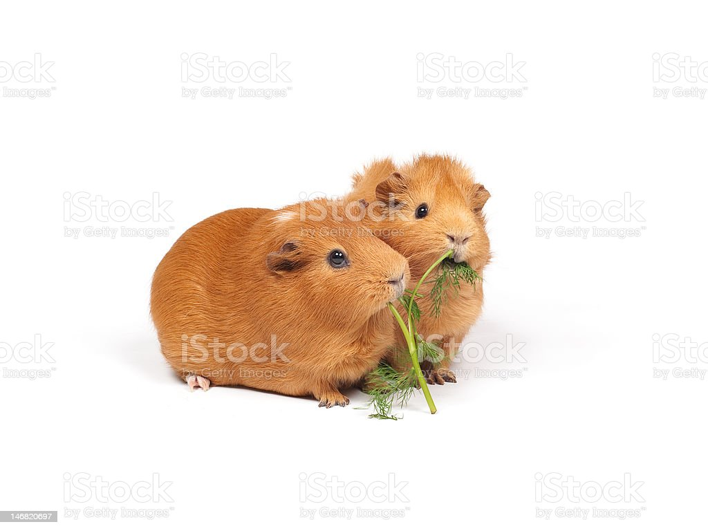 Two guinea pigs eat dill stock photo