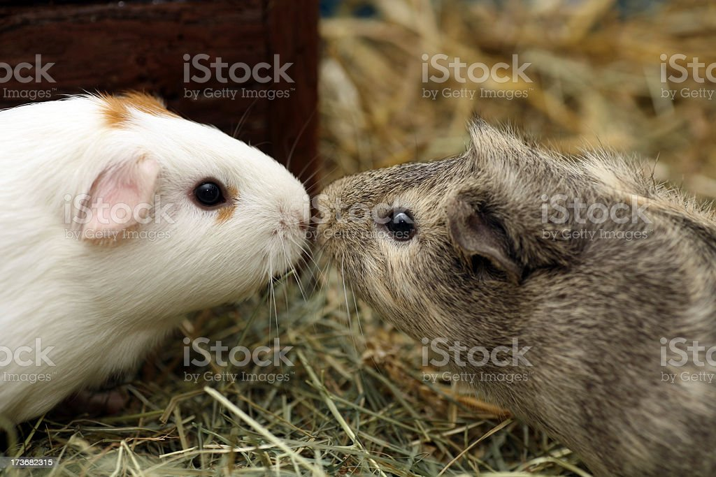 Two guinea pigs in love kissing stock photo