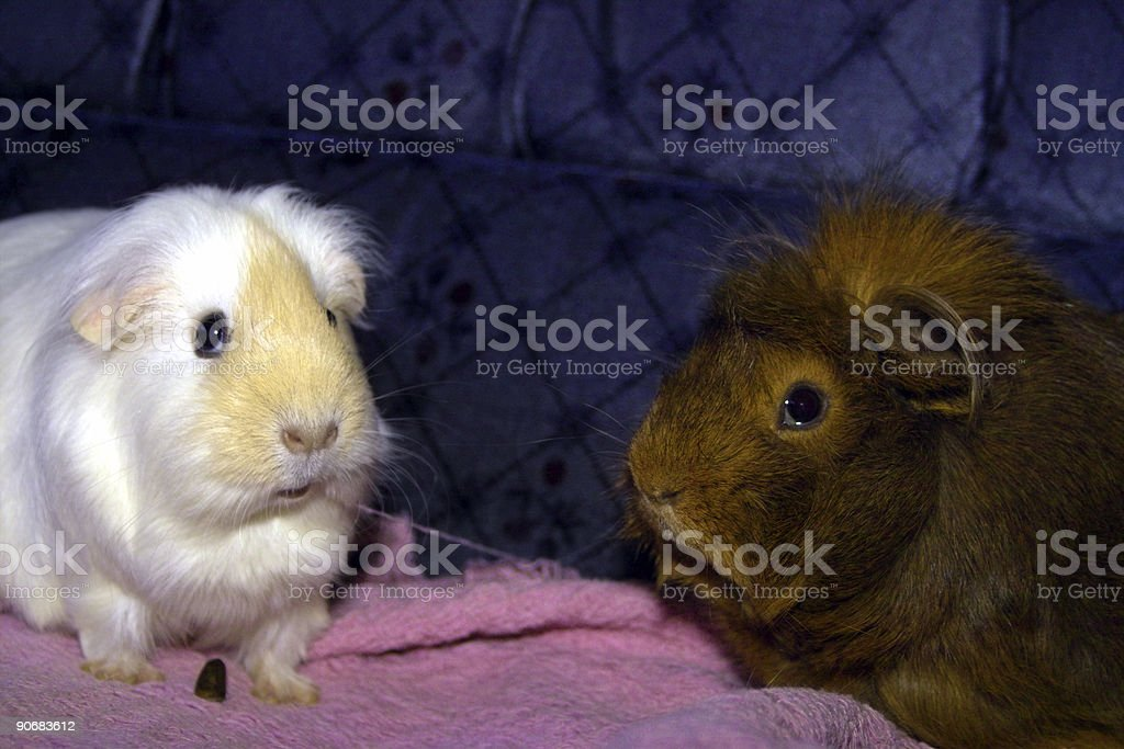 two guinea pigs stock photo