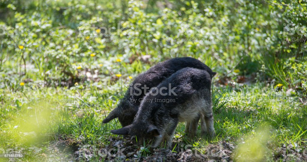 Two hairy pigs dig the ground in the forest stock photo