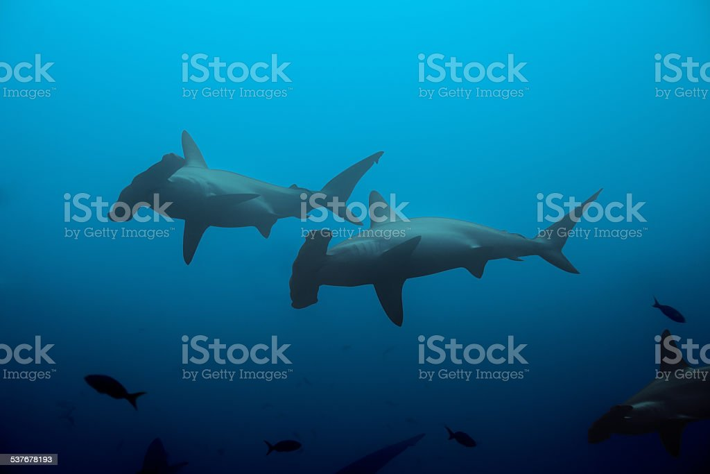Two hammerhead sharks in the blue waters stock photo