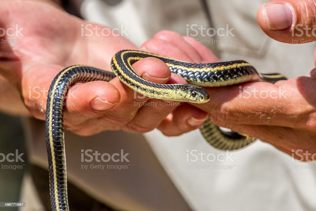 Two Hands Holding a Garter Snake stock photo