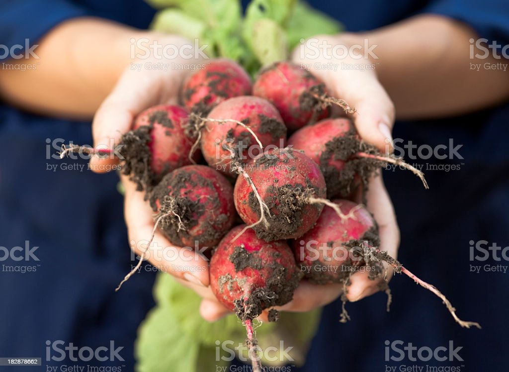 Two hands holding bunch of fresh radishes with dirt on stock photo