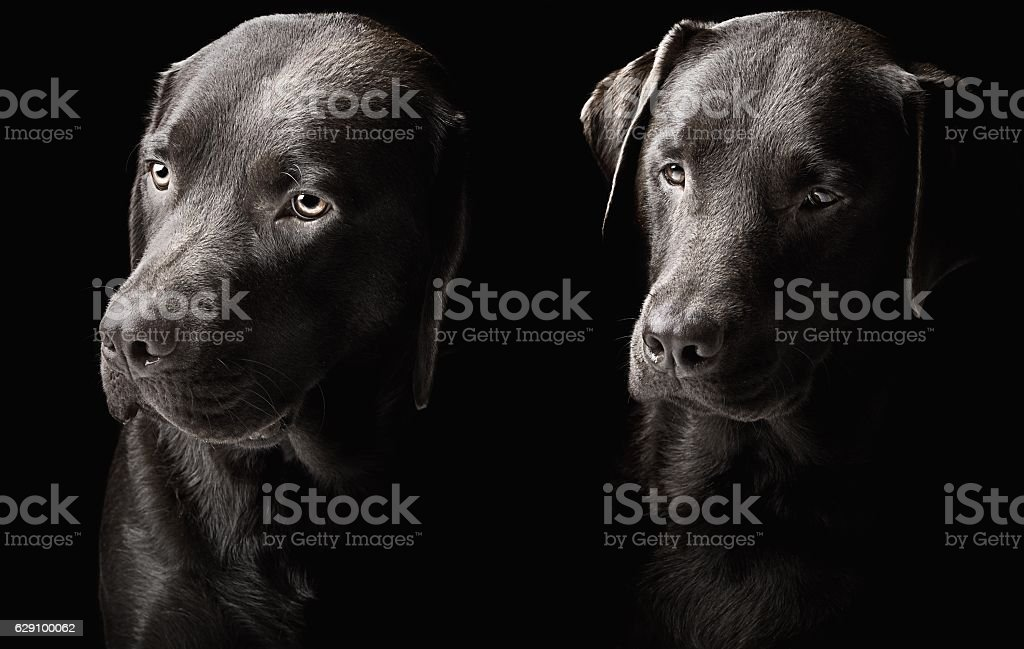 Two handsome chocolate labradors stock photo