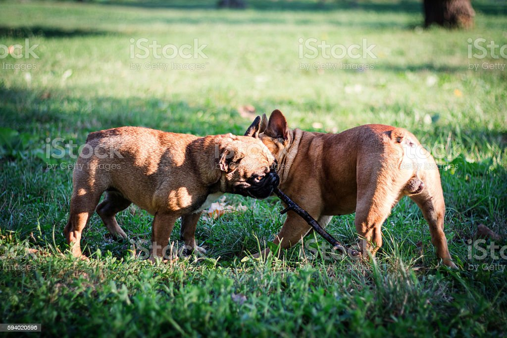 Two happy crazy young French Bulldog playing in the field stock photo