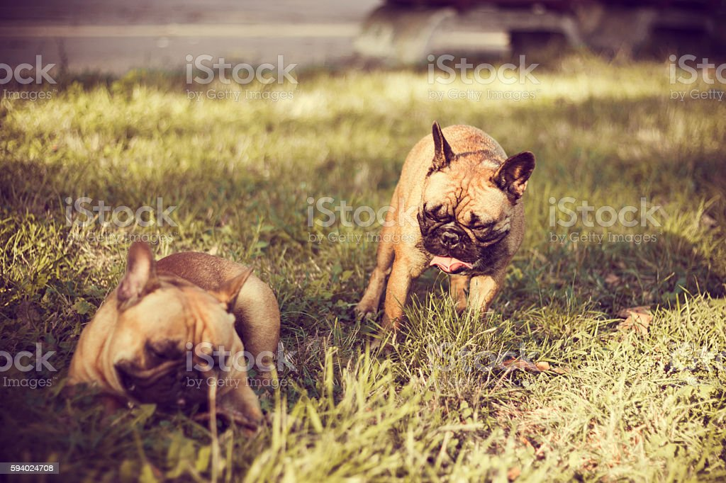 Two happy crazy young French Bulldog playing. stock photo