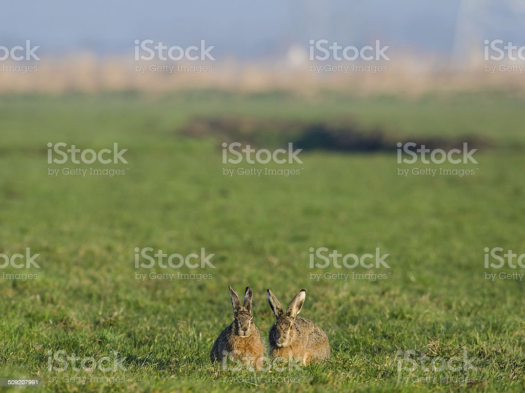 Two hares stock photo