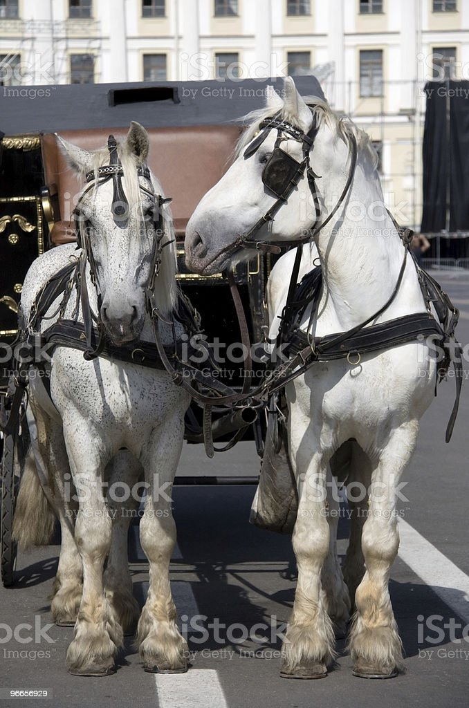 Two Harness Horses stock photo