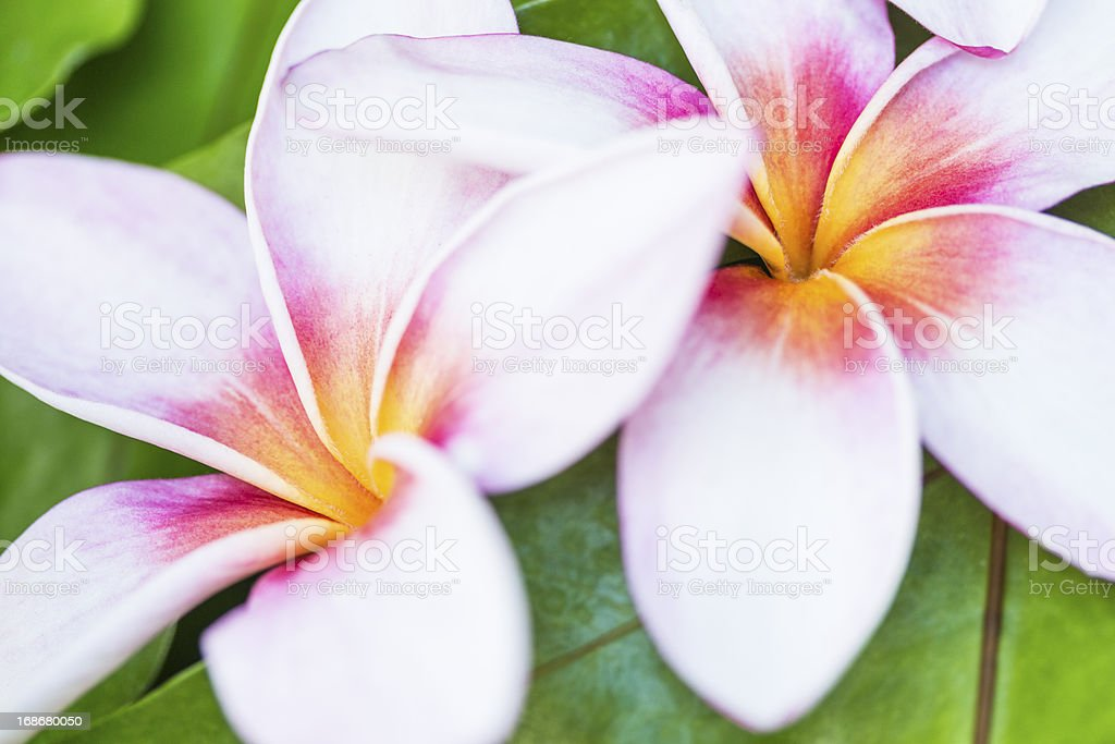 Two Hawaiian Plumerias stock photo