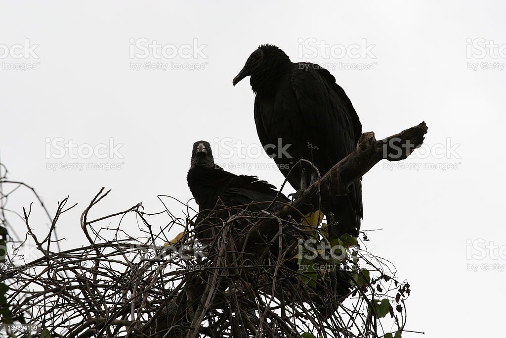 Two hawks on a tree royalty-free stock photo