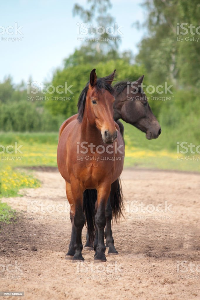 Two headed brown and black horse stock photo