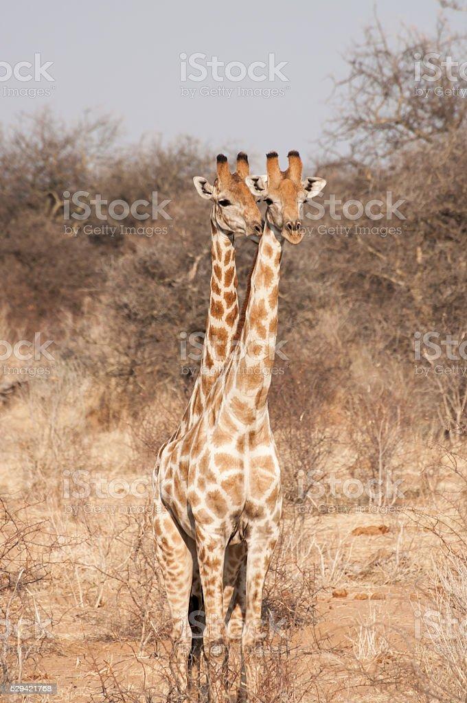 Two Headed Giraffe stock photo