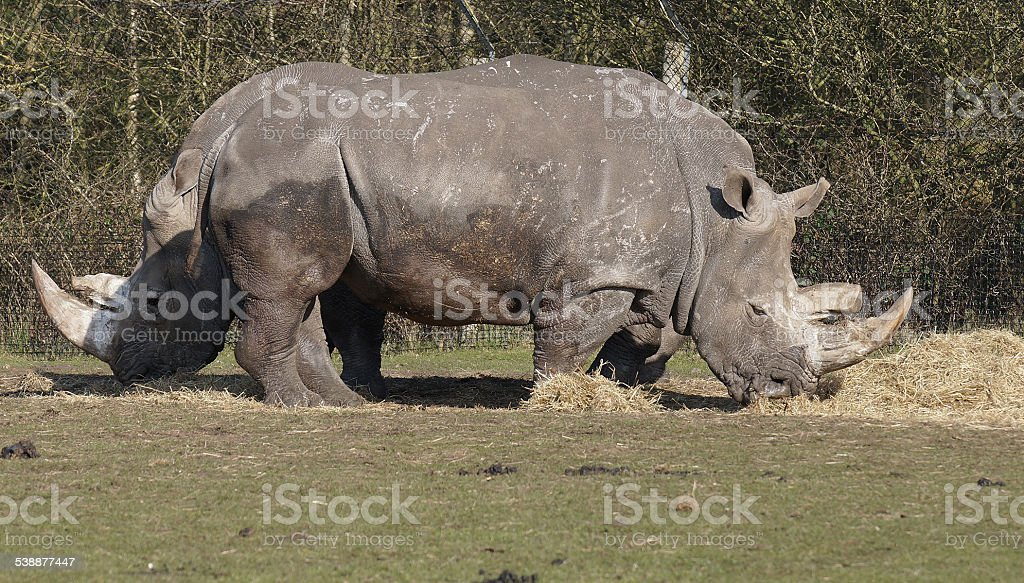 Two headed rhino stock photo